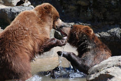 Wrestling Grizzly Bears in a Shallow River Royalty Free Stock Image