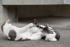 Free Wrestling Match Between Chubby Cats. Royalty Free Stock Photography - 76250127