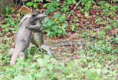 Wrestling Monitor-Lizards Royalty Free Stock Photography
