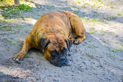 Wrestling old dog rests on the shore. Of the lake Royalty Free Stock Photos