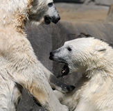 Wrestling polar bears Stock Images