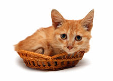Wretched red cat in basket stock photography