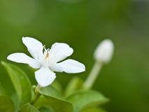 wrightia λουλουδιών antidysenterica Στοκ Εικόνες