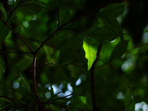 Wrightia leaf. And light Stock Image