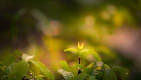 Wrightia religiosa花和水下落新的分支在庭院看起来新鲜和美好 免版税库存图片