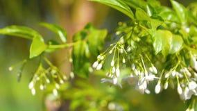 Wrightia religiosa邦特:白花和绿色叶子摇摆由风 股票录像