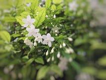 Wrightia religiosa Benth美丽的白花 免版税库存图片