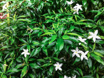 Wrightia-religiosa Benth-Blume stockbild