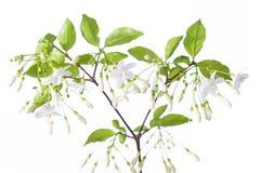 Wrightia religiosa Benth flower Royalty Free Stock Photography