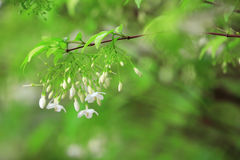 Wrightia religiosa Benth, white flowers are fragrant. Wrightia religiosa Benth, white flowers are fragrant, as nature background Royalty Free Stock Photos