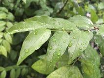 Wrightia religiosa. With droplet in rainy season Stock Photography