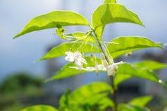 Wrightia religiosa flower in nature garden Royalty Free Stock Photos