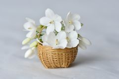 White flower in tiny bamboo basket. Wrightia religiosa flowers in a miniature bamboo basket Stock Images