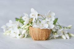 White flower in tiny bamboo basket. Wrightia religiosa flowers in a miniature bamboo basket stock photos