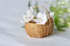 White flower in tiny bamboo basket. Wrightia religiosa flowers in a miniature bamboo basket royalty free stock image