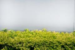Wrightia religiosa and grey wall. Background texture Royalty Free Stock Photos