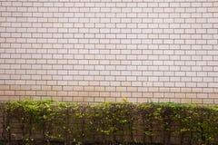 Wrightia religiosa and grey wall. Background texture Stock Photo