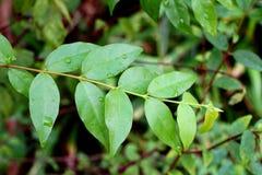 Wrightia religiosa leaves. In nature garden Royalty Free Stock Image
