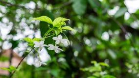 Wrightia religiosa Piękni kwiaty Zdjęcia Stock