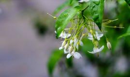 Wrightia Religiosa. Small white flower, Wrightia religiosa Benth Royalty Free Stock Photography