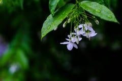 Wrightia Religiosa. Small white flower, Wrightia religiosa Benth Royalty Free Stock Image