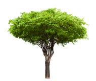 Wrightia religiosa tree isolated. On white Stock Photo
