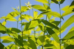 Wrightia religiosa tree. In nature garden Royalty Free Stock Photo