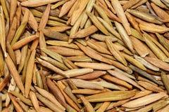 Wrightia tinctoria (indarjao) or Ivory wood Royalty Free Stock Image
