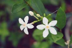 Wrightiaantidysenterica, witte sneeuwvlok, wrightia, Inda-bloem in de tuin Stock Foto