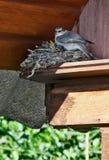 wrightii серого цвета flycatcher empidonax Стоковые Изображения