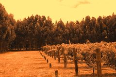 Wrights Bay Vines (orange). Photograph taken at Wrights Bay Vineyard featuring grapevines and Eucalypts (Mt Benson, South Australia stock image