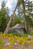 Wrights Lake wilderness. Area in California with golden ferns, pine trees and large boulders Royalty Free Stock Photo