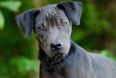Wrinkle Puppy Dog Mutt. Mixed breed mutt pup with wrinkles animal shelter adoption photo Stock Image