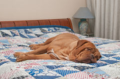Wrinkled Dogue De Bordeaux lying on the bed Stock Image
