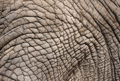 Wrinkled elephant skin Royalty Free Stock Photos