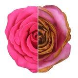 Wrinkled and fresh rose isolated on white background. Stock Photos