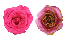 Wrinkled and fresh rose isolated on white background. Royalty Free Stock Photography