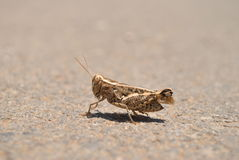 Wrinkled Grasshopper Royalty Free Stock Photography