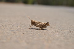 Wrinkled Grasshopper Royalty Free Stock Photo