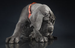 Wrinkled Great Dane Puppy Royalty Free Stock Images