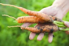 The wrinkled hands of an elderly person hold fresh carrots with earth and tops. Closeup carrot harvest in the hands of an elderly royalty free stock photography