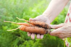 The wrinkled hands of an elderly person hold fresh carrots with earth and tops. Closeup carrot harvest in the hands of an elderly stock photos