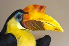 Wrinkled Hornbill stock photos
