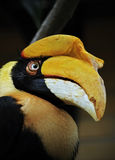 wrinkled hornbill Royalty Free Stock Photo