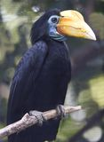 Wrinkled hornbill indonesia parrot toucan Royalty Free Stock Photos