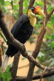 Wrinkled hornbill Stock Photo