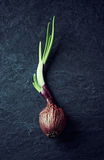 Wrinkled onion with shoots Stock Photography