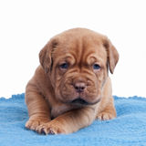 Wrinkled ppuppy on the carpet Royalty Free Stock Photo