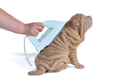 Wrinkled Puppy Being Ironed Royalty Free Stock Photography