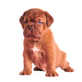Wrinkled puppy sitting Stock Photos